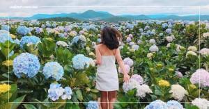 Điểm danh những cánh đồng hoa cẩm tú cầu nổi tiếng ở Đà Lạt | VNTOUR