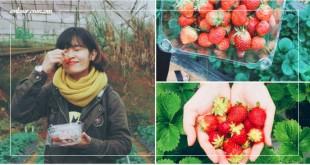"""TOP những vườn dâu tây uy tín được giới trẻ rần rần """"Check-in"""" tại Đà Lạt"""